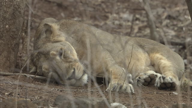 An Asiatic lioness (panthera leo persica) sleeping by the bottom of a tree stump