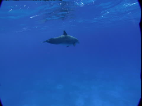 an atlantic spotted dolphin surfaces before diving down to the seabed in the bahamas. - spotted dolphin stock videos and b-roll footage