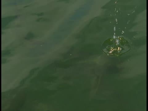 vídeos y material grabado en eventos de stock de an atlantic tarpon surfaces and grabs food that plops in the water. - salir del agua