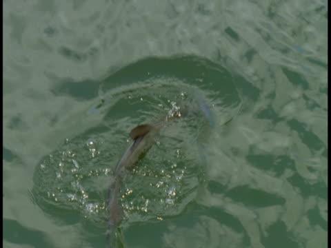 vídeos y material grabado en eventos de stock de an atlantic tarpon surfaces, then dives. - salir del agua