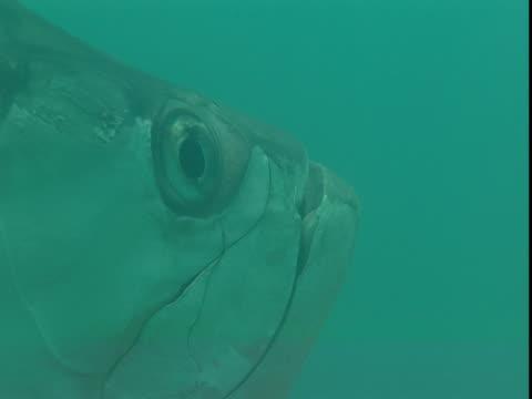 vídeos de stock e filmes b-roll de an atlantic tarpon swims through murky water. - guelra