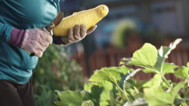an attractive caucasian woman in her fifties picks a yellow summer squash with her pruning shears from her garden beside her house on a bright, sunny day - gardening stock videos & royalty-free footage
