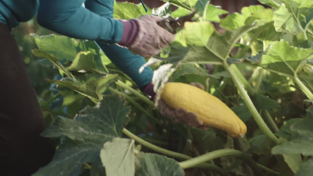 vídeos de stock e filmes b-roll de an attractive caucasian woman in her fifties picks a yellow summer squash with her pruning shears from her garden beside her house on a bright, sunny day - horta
