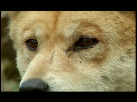 an australian dingo looks into the direction of the camera, then turns away. - 超高精細点の映像素材/bロール