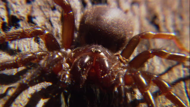 an australian funnel-web spider sits on branch. - spider stock videos & royalty-free footage