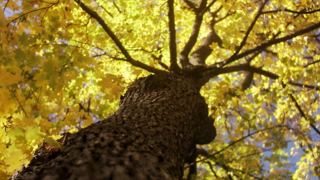 An autumn tree Sweden.
