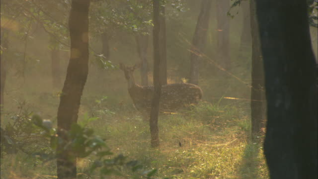 an axis deer looks alertly in a misty forest in pench, india. - deer stock videos & royalty-free footage
