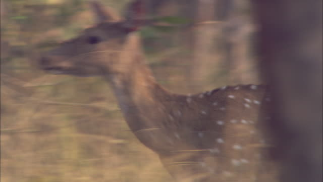 An axis deer runs away in a forest in Pench, India.
