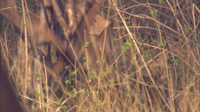 an axis deer stag rubs his antlers on a tree in pench, india. - rubbing stock videos & royalty-free footage