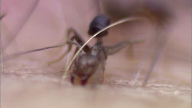 vídeos de stock, filmes e b-roll de an aztec ant bites human skin. - membro parte do corpo