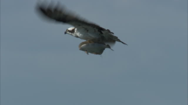 an eagle carries a fish in its talons as it flies through the sky. - 鳥の鉤爪点の映像素材/bロール