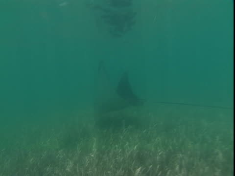 an eagle ray glides along a sun-dappled seabed. - eagle ray stock videos and b-roll footage