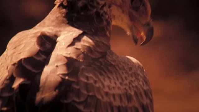 vídeos y material grabado en eventos de stock de an eagle sits in a nest. available in hd. - desierto del kalahari