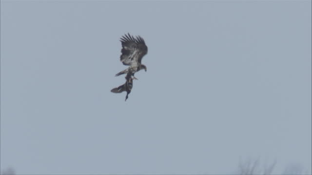 an eagle snatches prey in flight and takes it down to freshwater. - rovfågel bildbanksvideor och videomaterial från bakom kulisserna