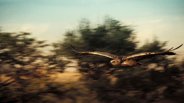 vídeos de stock, filmes e b-roll de an eagle soars above treetops in the kalahari desert. available in hd. - deserto de kalahari