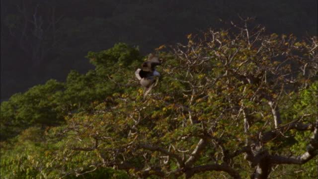 vídeos y material grabado en eventos de stock de an eagle soars past a forest and dives toward a river where it fishes with another eagle. - supervivencia