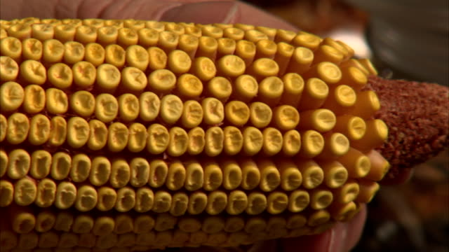an ear of corn lacks kernels in several places. - corn cob stock videos & royalty-free footage