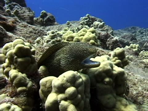an eel in bleached coral - tierisches exoskelett stock-videos und b-roll-filmmaterial