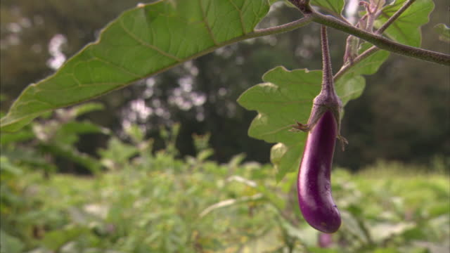 an eggplant ripens on a vine. - aubergine stock videos & royalty-free footage
