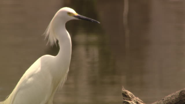 an egret stands in a marsh, looks around and grooms itself. - egret stock videos and b-roll footage
