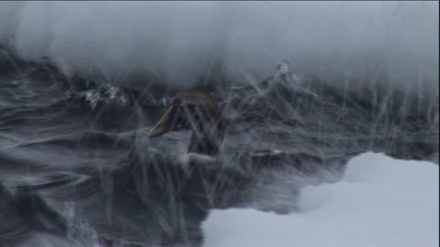 an eider duck dives in a choppy polynya ice lake in arctic canada. available in hd. - ホンケワタガモ点の映像素材/bロール