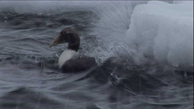an eider duck dives in a choppy polynya ice lake in arctic canada. available in hd. - eider duck stock videos & royalty-free footage
