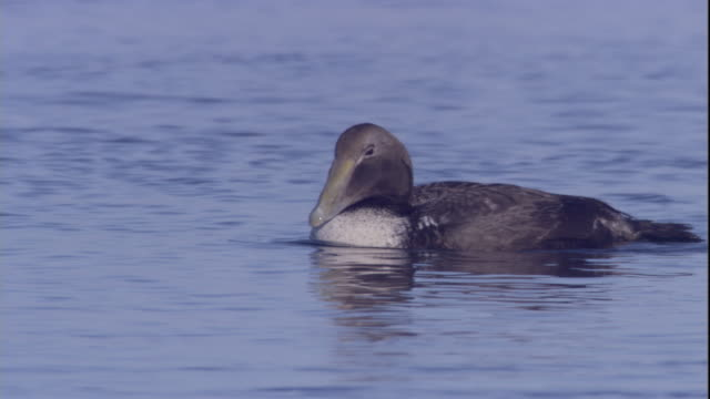 an eider duck dives into the water. available in hd. - ホンケワタガモ点の映像素材/bロール
