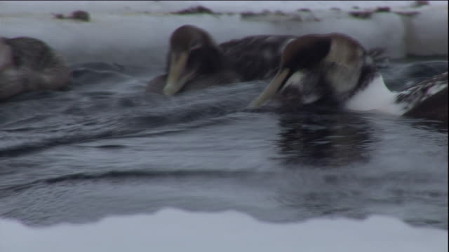 an eider duck eats a mussel on a polynya ice lake in arctic canada. available in hd. - eider duck stock videos & royalty-free footage