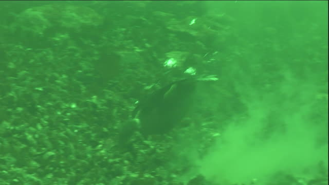 an eider duck forages for mussels underwater on seabed. available in hd. - ホンケワタガモ点の映像素材/bロール