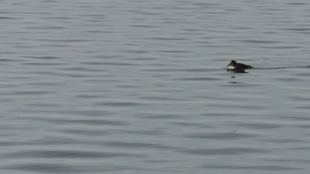 an eider duck swims across a body of water.  - eider duck stock videos & royalty-free footage