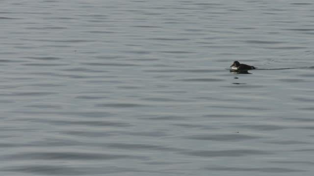 an eider duck swims across a body of water.  - ホンケワタガモ点の映像素材/bロール