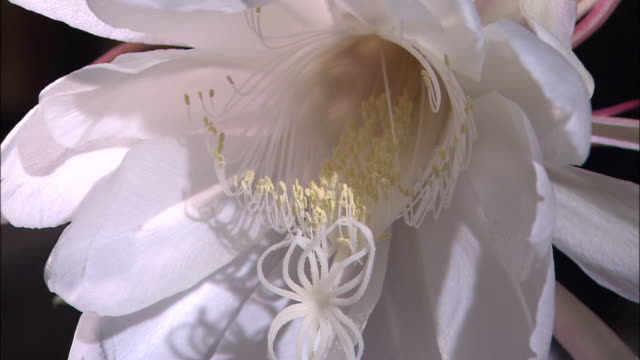 An elaborate white stigma protrudes from the center of a Queen of the Night flower.