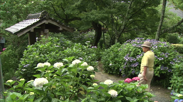 An elderly couple walks up a garden path lined with blooming hydrangeas.