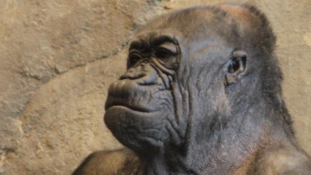 An elderly gorilla sits, surveying its surroundings.