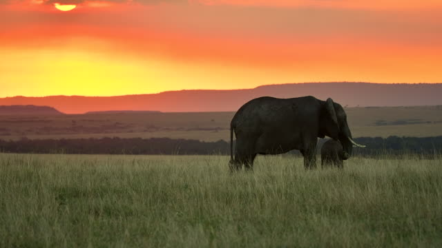 stockvideo's en b-roll-footage met an elephant and her calf grazing in grassland during a gorgeous sunset inside masai mara - back lit