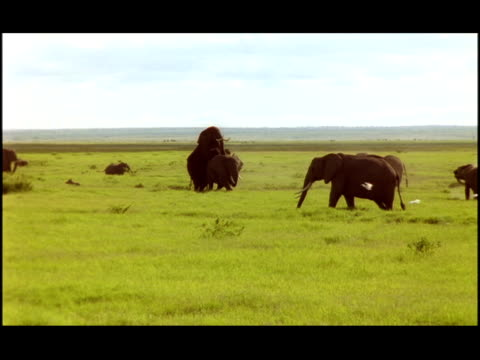 an elephant briefly mounts another. - zoologia video stock e b–roll