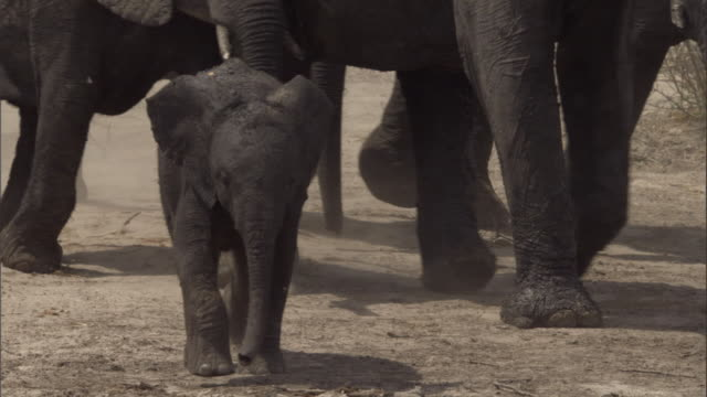 an elephant calf charges into a watering hole with a herd. available in hd. - vier tiere stock-videos und b-roll-filmmaterial