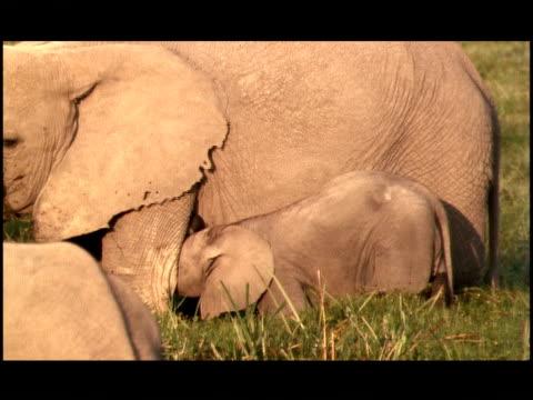 an elephant calf stands near its mother in a marsh. - tierische nase stock-videos und b-roll-filmmaterial