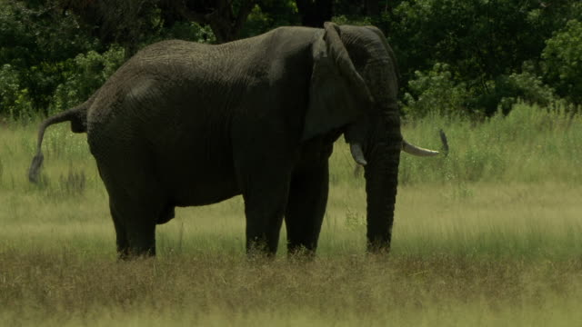 an elephant defecates in a grassy field. - defecating stock videos and b-roll footage