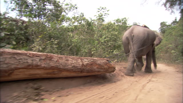 an elephant drags a log along a dirt path. - domestic animals stock videos & royalty-free footage
