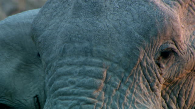 stockvideo's en b-roll-footage met cu of an elephant/ etosha national park/ namibia - supersensorisch