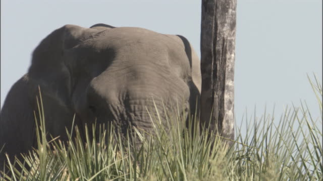 an elephant flaps its ears and then pushes against a tree, knocking fruit down. - pushing stock videos & royalty-free footage