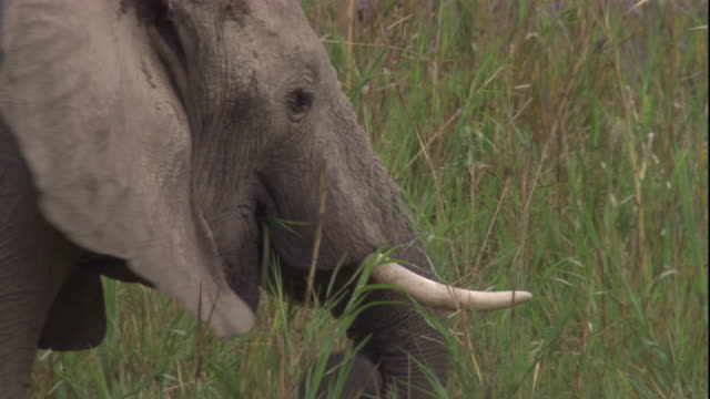 An elephant grazes in tall grass, Skeleton Coast, Namibia. Available in HD.