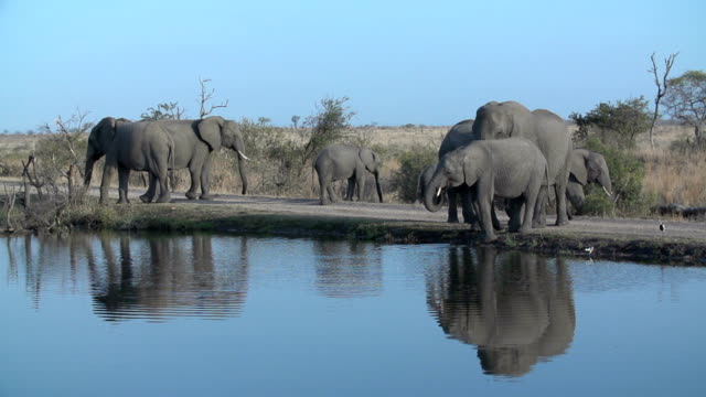 An elephant herd drink from a waterhole in an open area  in Kruger National Park, South Africa