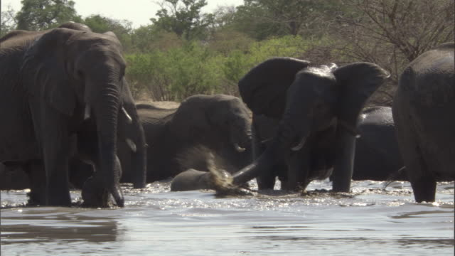 An elephant herd wades through a watering hole. Available in HD.