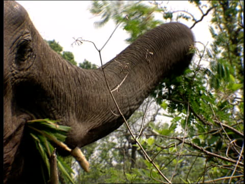 an elephant pulls branches from a tree and eats. - televisione a ultra alta definizione video stock e b–roll