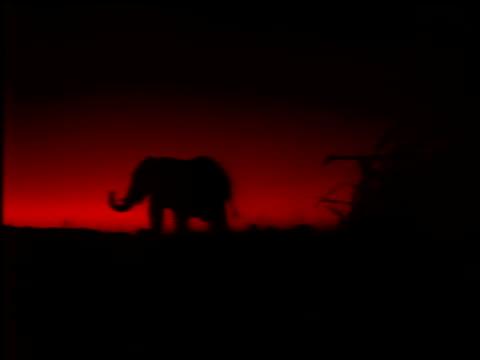 an elephant raises it's trunk as it walks along the horizon. - naso di animale video stock e b–roll