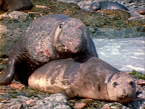 an elephant seal vocalizes his displeasure at his mate's leaving. - elephant seal stock videos & royalty-free footage