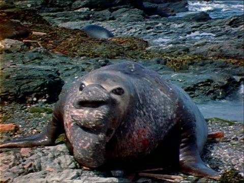 an elephant seal vocalizes his displeasure. - elefantsäl bildbanksvideor och videomaterial från bakom kulisserna