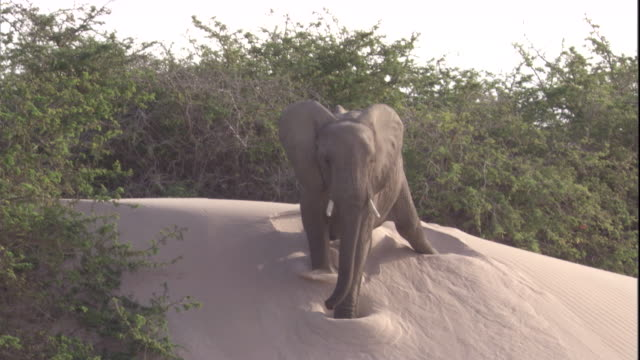 an elephant slides down a sand dune, skeleton coast, namibia. available in hd. - elephant stock videos & royalty-free footage
